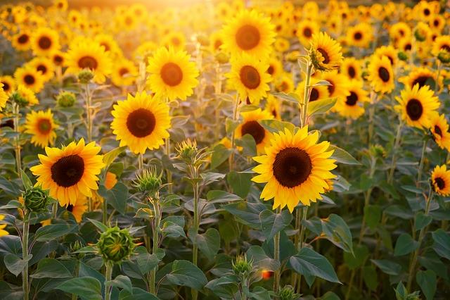 slunečnice.jpg